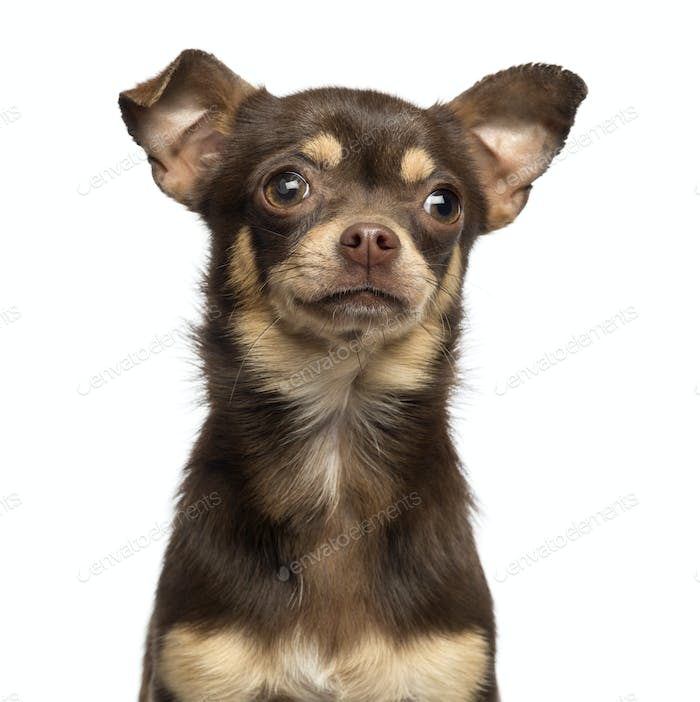Close-up of a Chihuahua, 13 months old, isolated on white