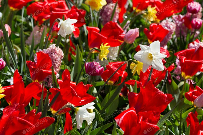 Flowers in the park Keukenhof