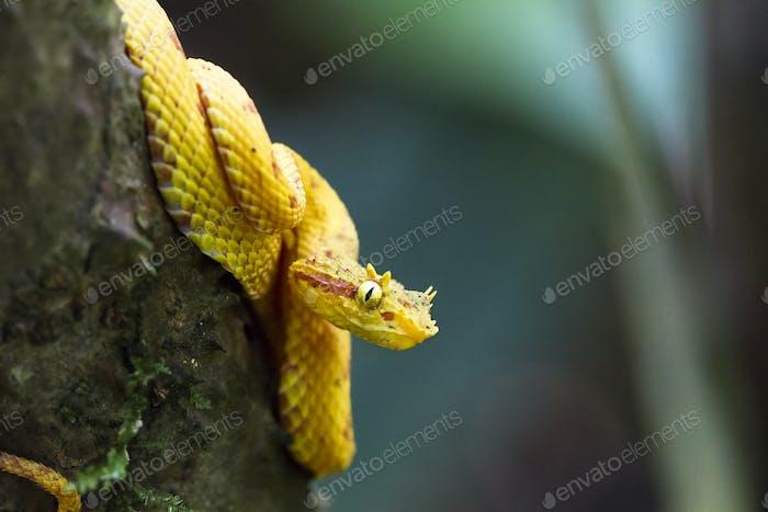 Eyelash Viper Up Close in Costa Rica