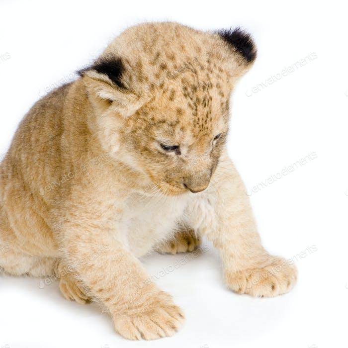 Löwenjunges sitzend