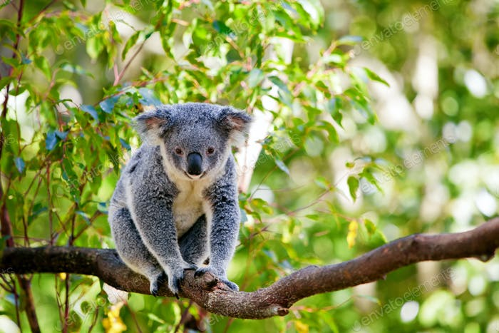 Australian koala in its natural habitat of gumtrees