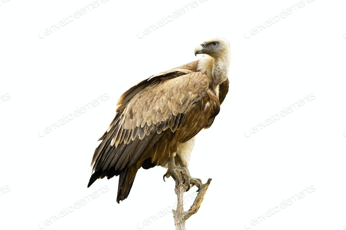Griffon vulture sitting on perch and looking over shoulder isolated on white