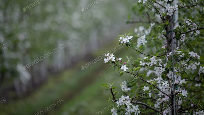 Tree branch with white flowers in spring. Apple orchard and farm with green grass