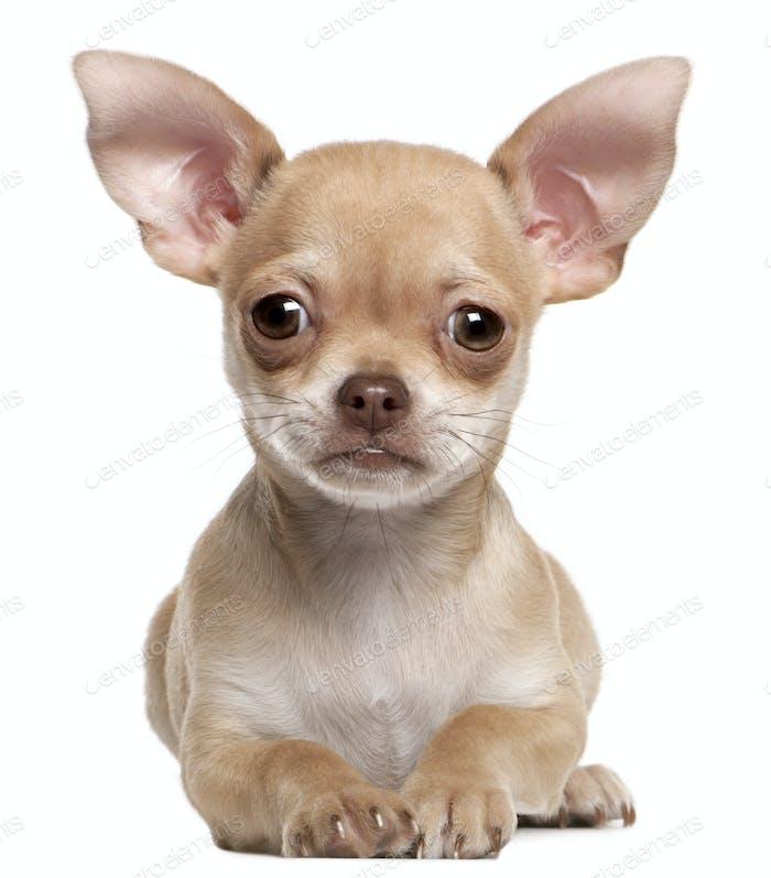 Shih Tzu (1 year old), Shih Tzu (9 months old), Shih Tzu puppy (