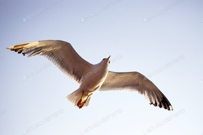 Seagull flying over the sky.