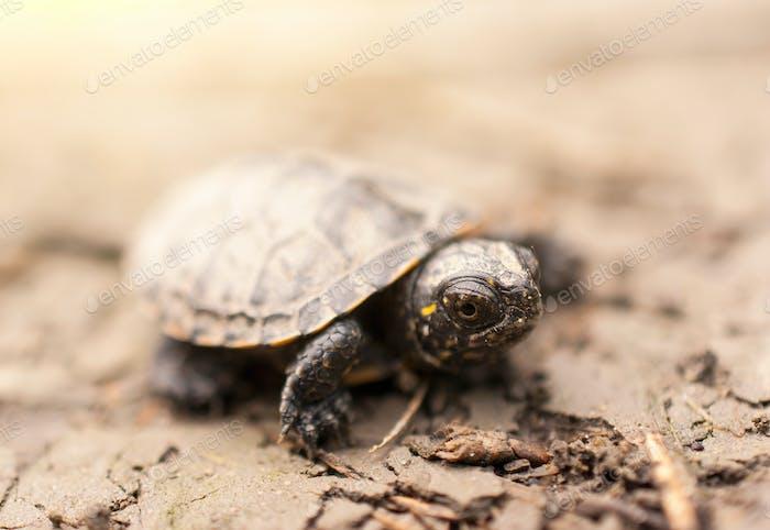 Tortuga Bebé