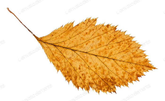 rotten dried leaf of hawthorn tree isolated
