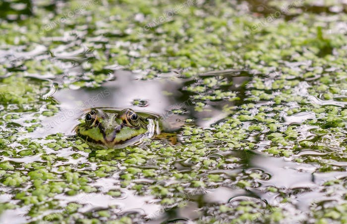 A Frog Looking out of the Water