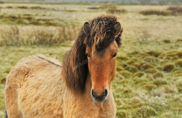 Iceland horses pony