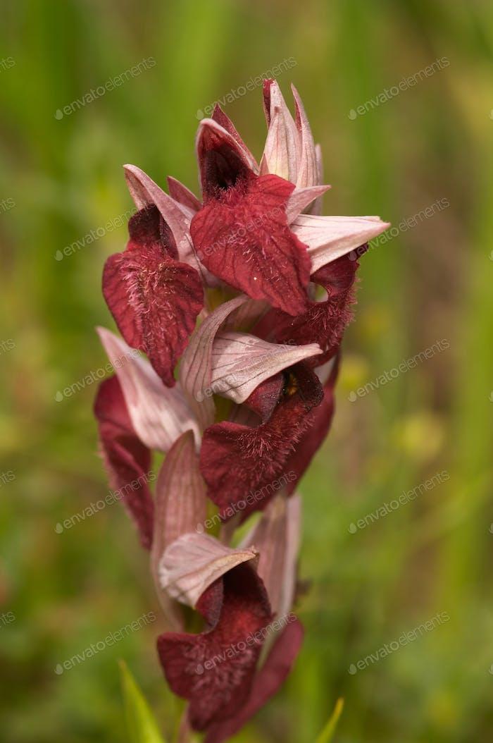 orchid (serapias sp.)