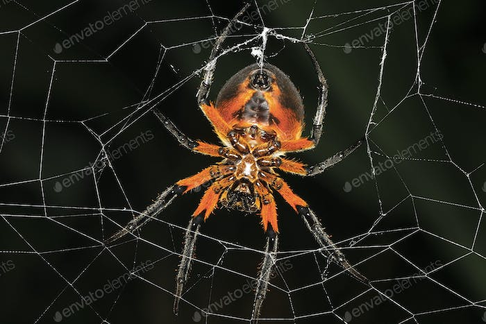 Tropical Red and Black Orb-Weaving Spider in Costa Rica