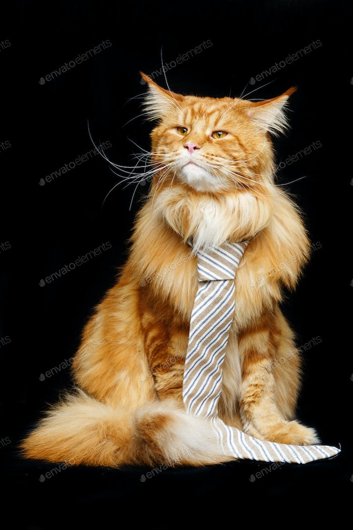 Beautiful maine coon cat with man tie