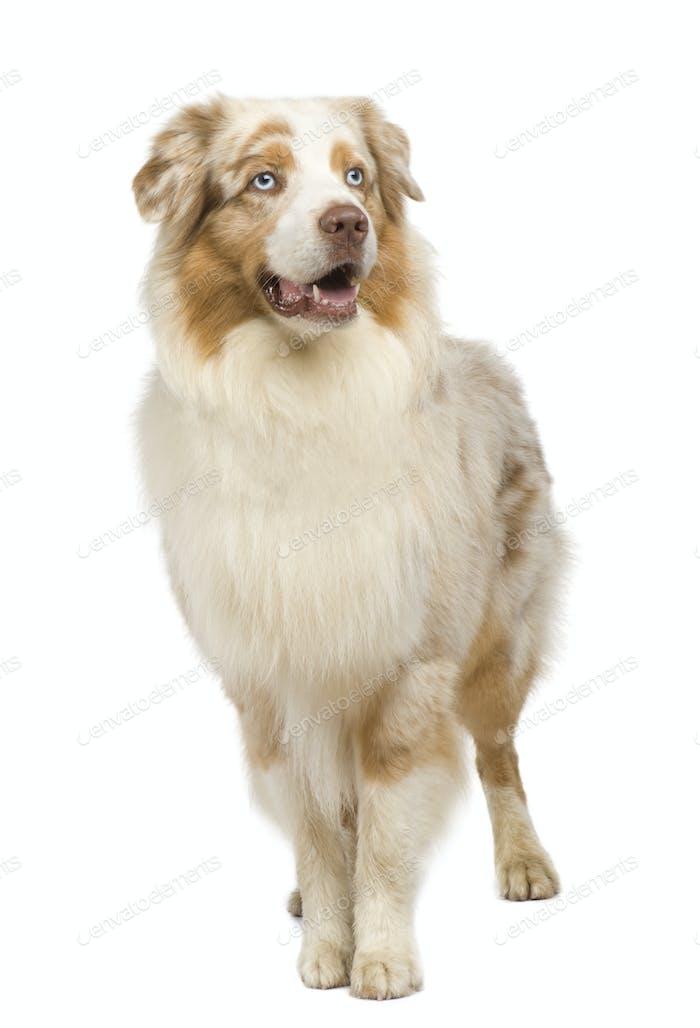 australian shepherd (3 years)