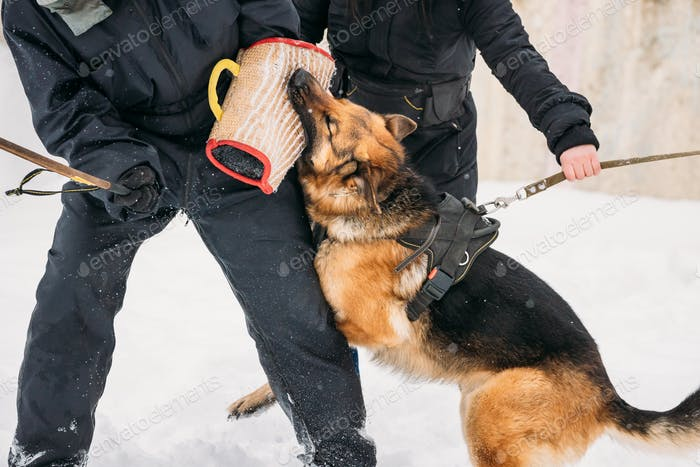 Training Of Purebred German Shepherd Young Dog Or Alsatian Wolf Dog