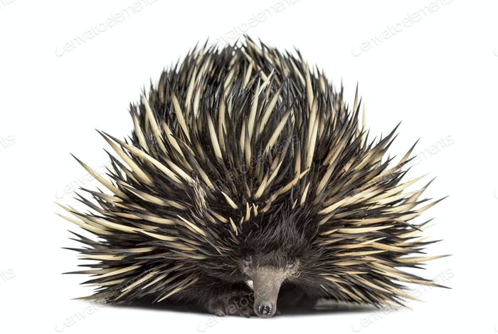Thumbnail for Short-beaked echidna isolated on white