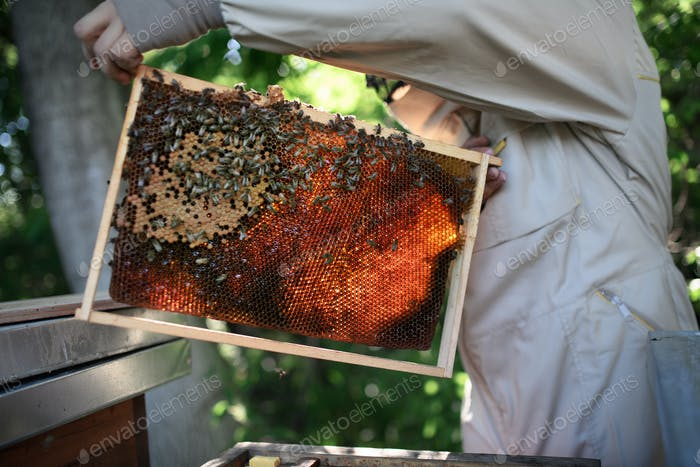 Man beekeeper holding honeycomb frame full of bees in apiary