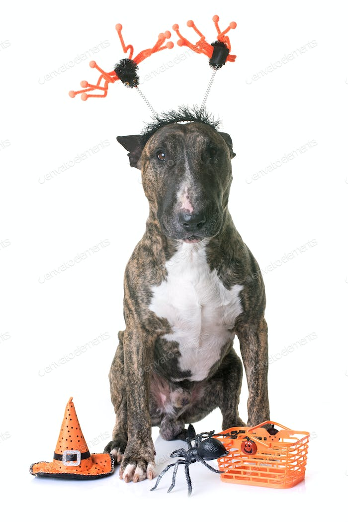 brown bull terrier and halloween