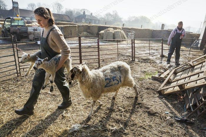 Two women in a sheep pen, one carrying two newborn lambs, an ewe walking alongside her.