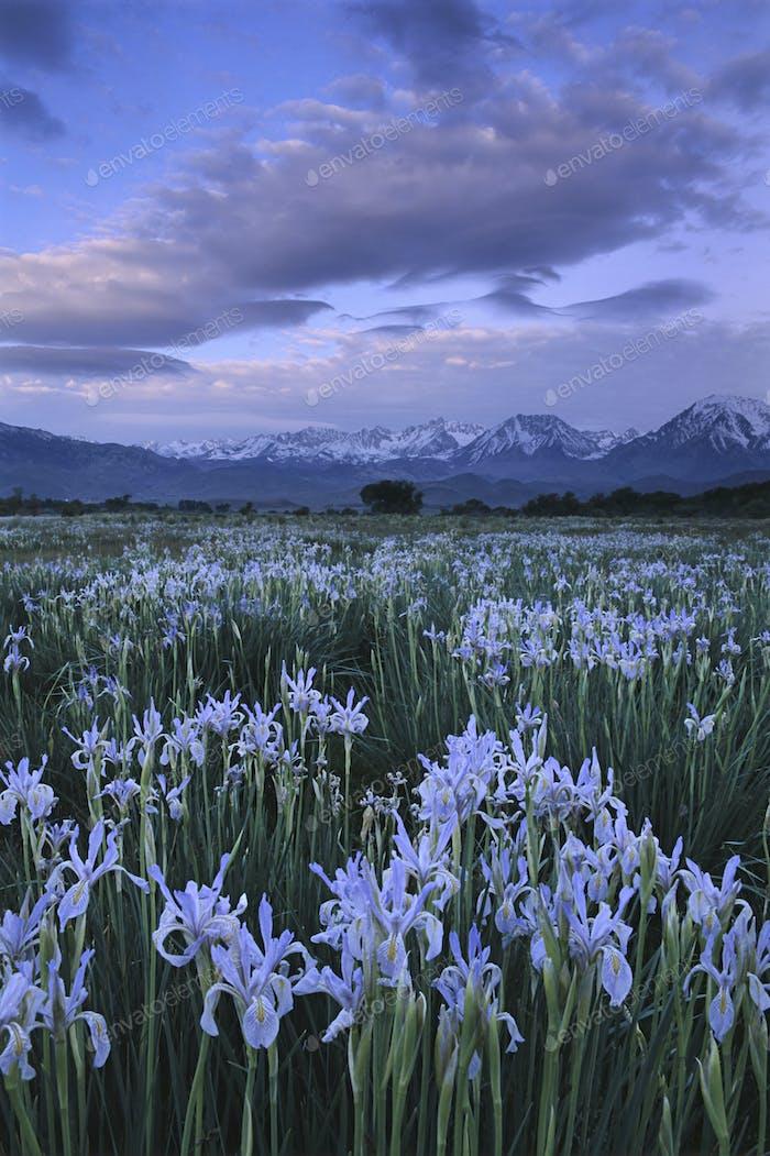 Wild irises, Moraea sp., Eastern Sierra, California
