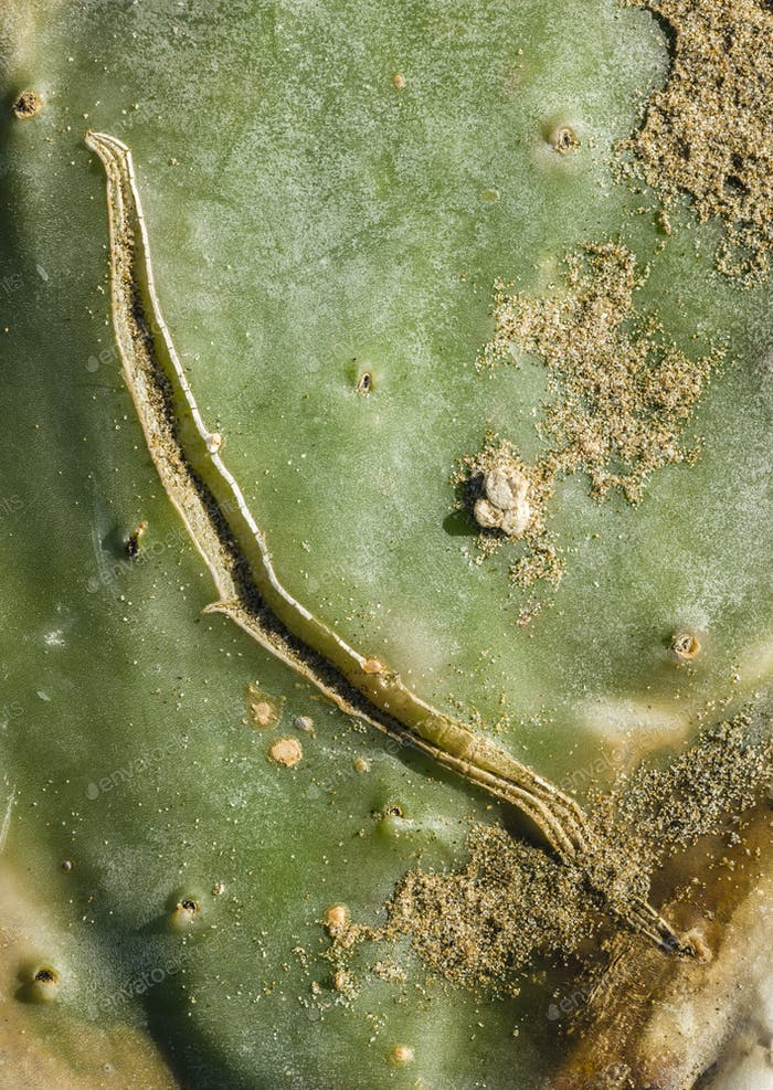 Scar on Opuntia leaf