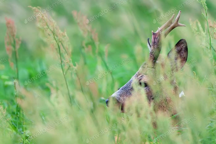 Buck Hirsch versteckt im Gras