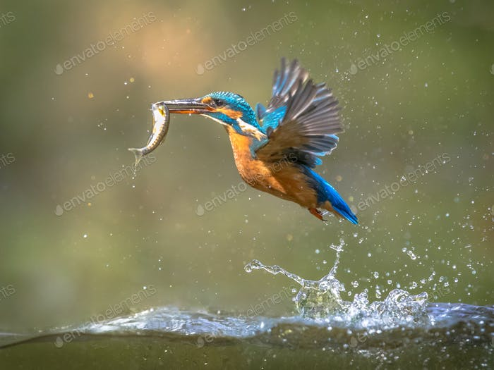 Common European Kingfisher Flying with fish catch