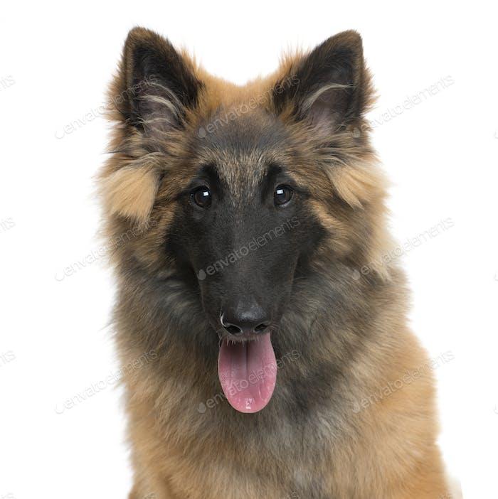 Close-up of a Belgian Shepherd dog panting, cut out