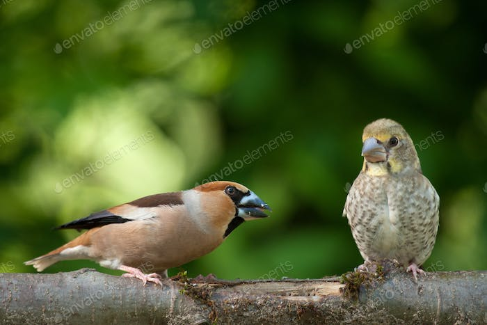 Female hawfinch (Coccothraustes coccothraustes) with chick