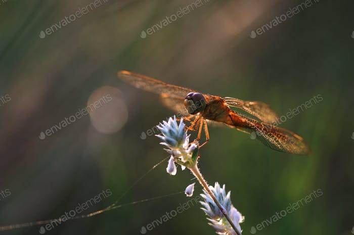 Dragonfly on the little white flower