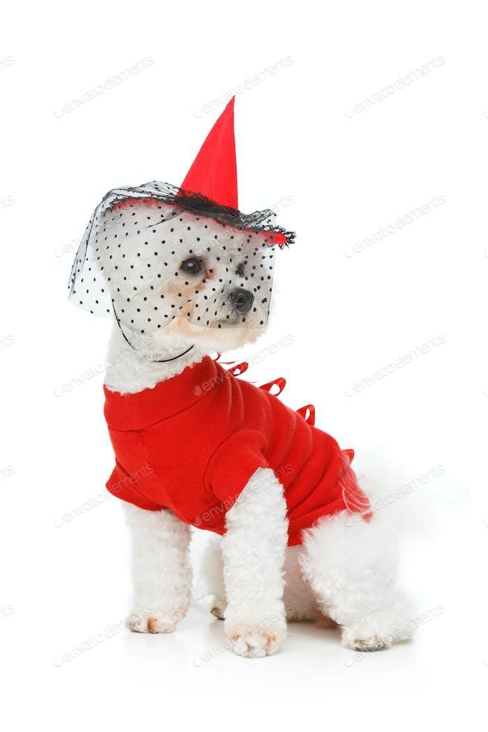 schöner Bichon Frisee Hund