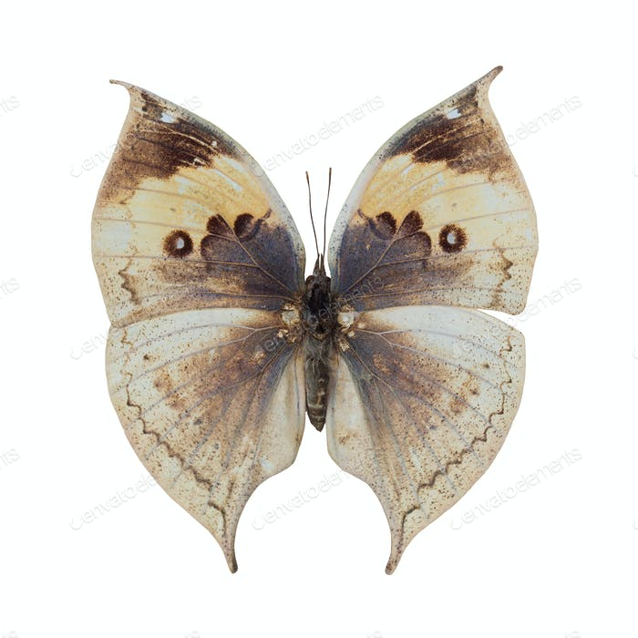 deadleaf butterfly