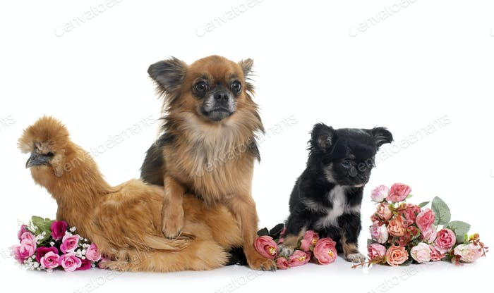chicken and chihuahua