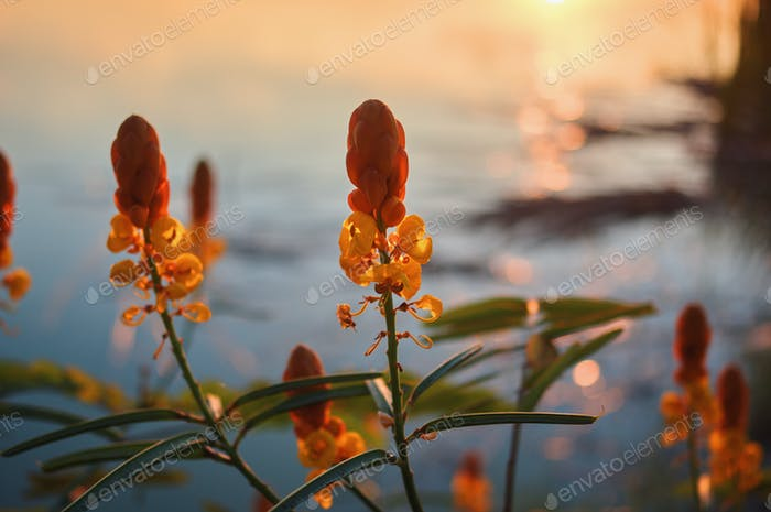 The yellow flower by the lake in evening light