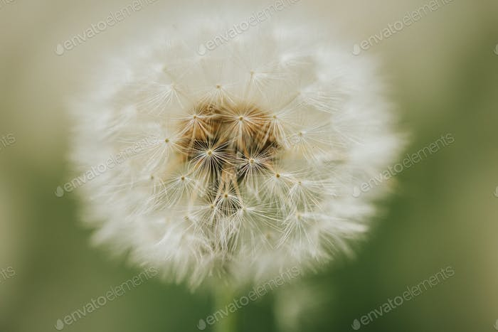 Beautiful fluffy dandelion in the open air on a blurred background, flowering dandelion