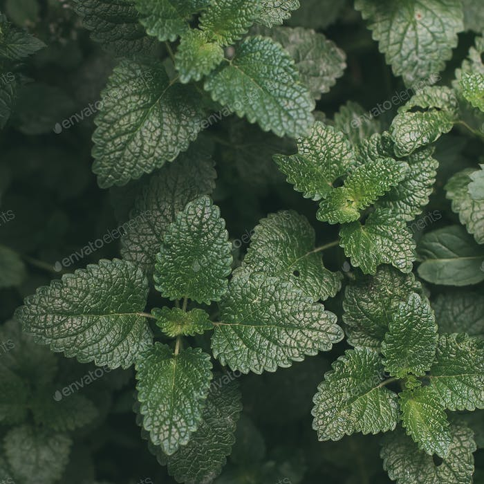 Green foliage, nature background. Mint Plant Grow Background