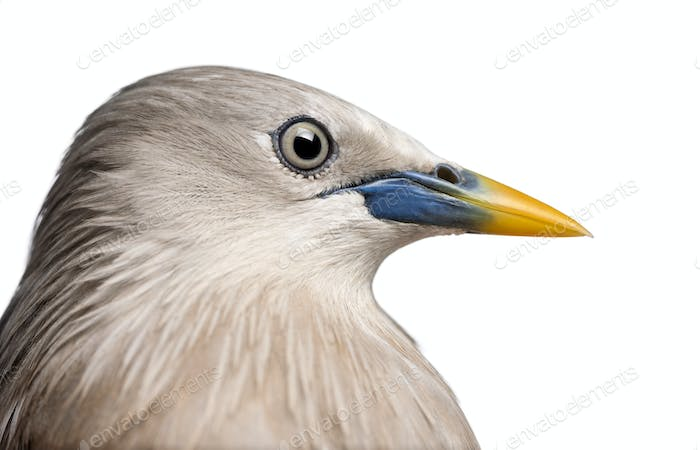 Close-up on a Chestnut-tailed Starling, side view - Sturnia malabarica