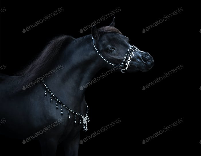 Portrait on black backgound of black American Miniature Horse.