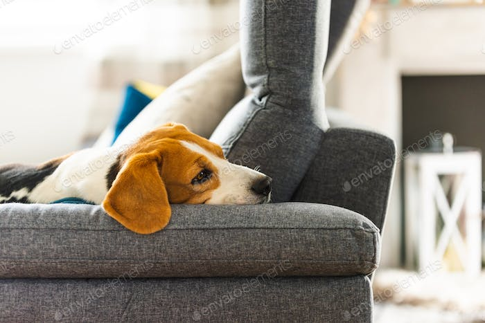 Beagle dog tired sleeps on a cozy sofa in funny position