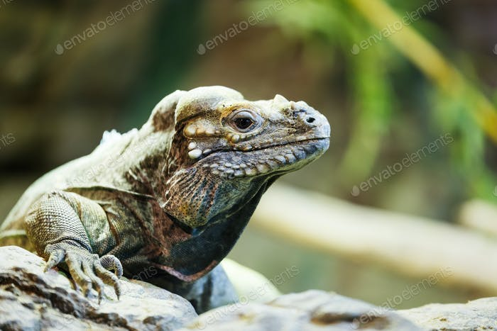 leguan reptile sitting on a rock