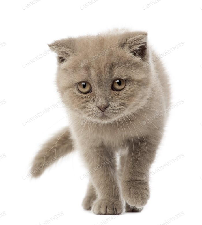 Portrait of Scottish Fold Kitten walking, 9 weeks old, against white background