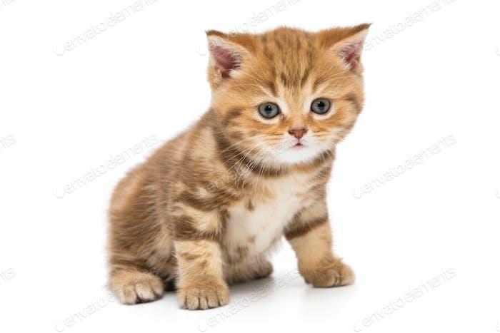 Small striped kitten breed British