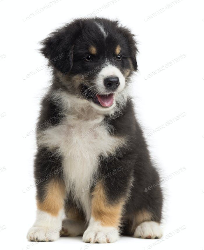 Australian Shepherd puppy, 8 weeks old, sitting and looking away against white background