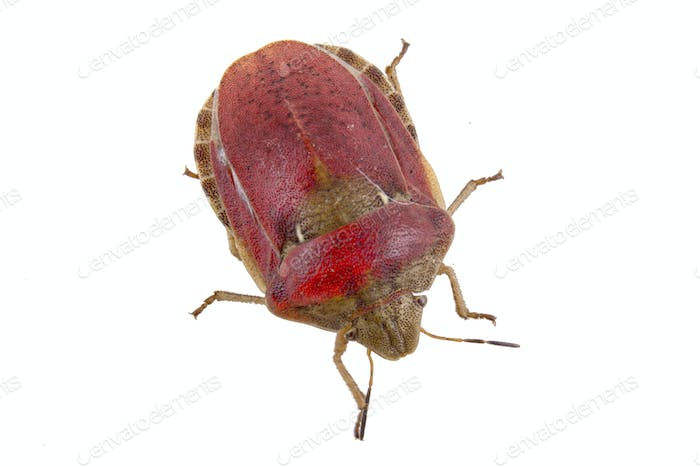 Sloe bug on white background