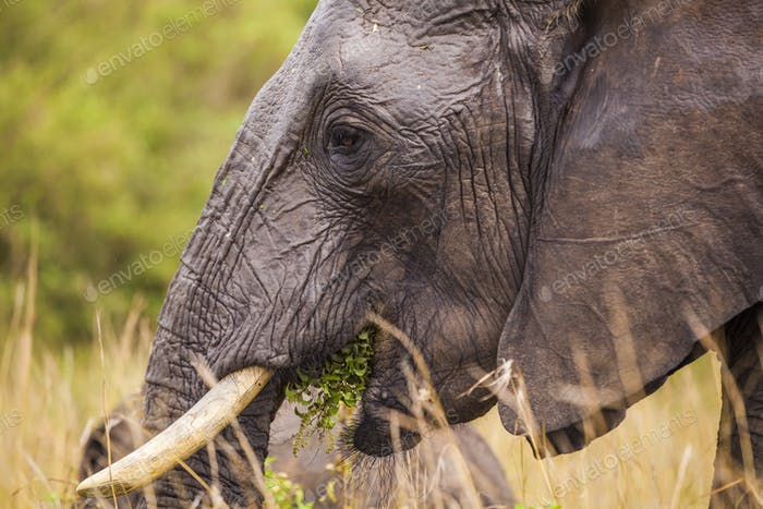 Big elephant. Kenya National Park. Africa.
