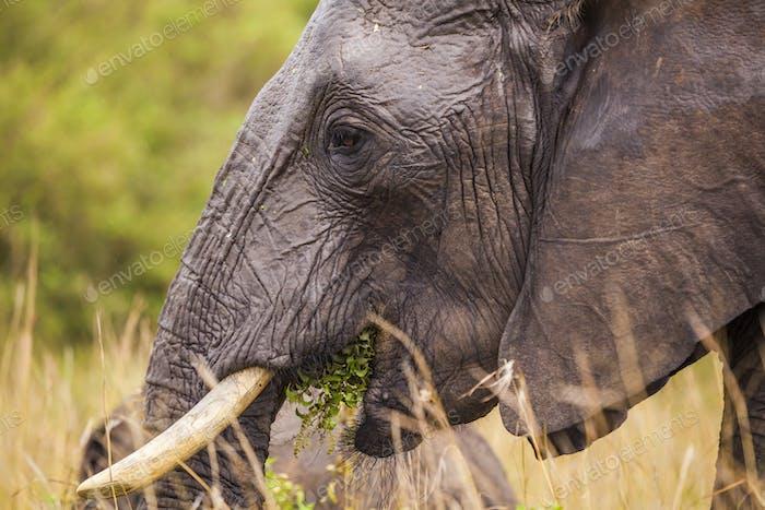 Big elephant. Kenya National Park. Africa.