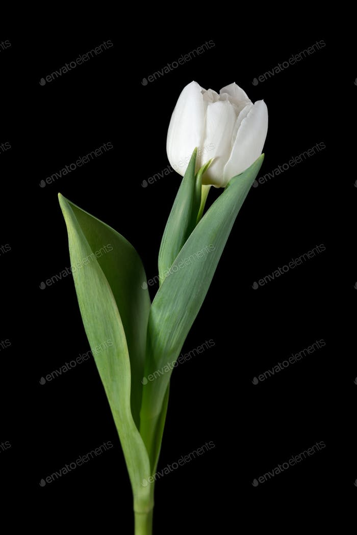 Close up of beautiful tulip isolated on black background