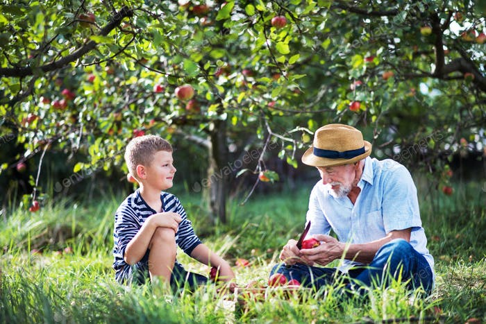 Ein älterer Großvater mit Enkel sitzt auf Gras im Obstgarten und schneidet Apfel.