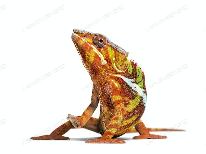 Panther chameleon, Furcifer pardalis looking at camera against white background