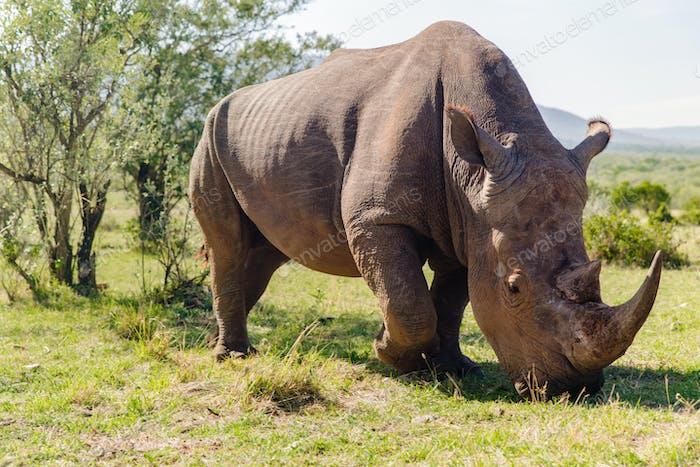 Nashorn Weiden in Savanne in Afrika