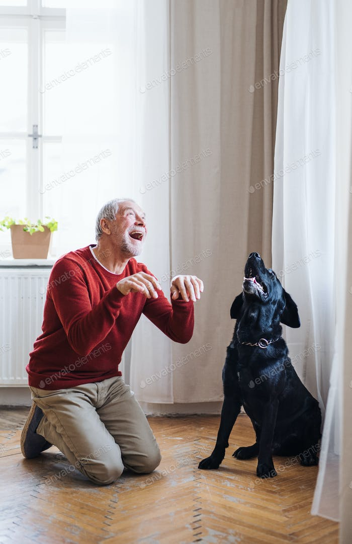 A senior man indoors with a pet dog at home, having fun.